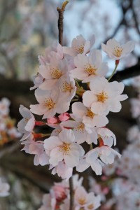 2007_Sakura_of_Fukushima-e_007_rotated (532x800)
