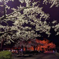 高松の池の桜2