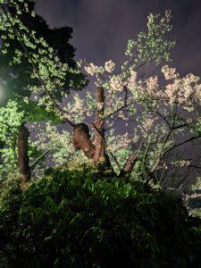 高松の池の桜3